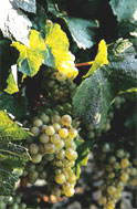 Chablis Grapes.  Photo credit:  Chablis Office of Tourism